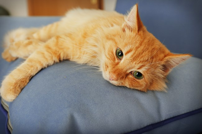 Cute red cat laying on grey sofa's pillow, close up